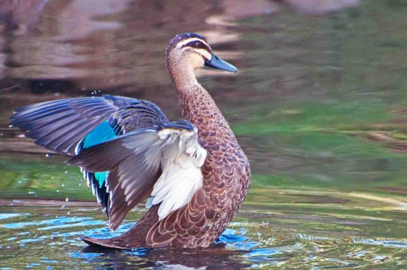 Australian Pacific Black Duck