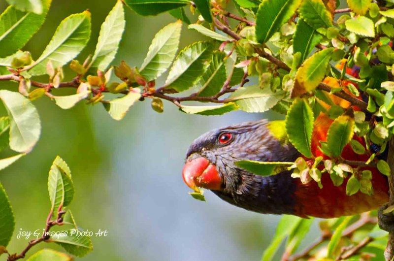Lorikeet, Australian Native Parrot