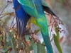 Australian Mallee Ringneck Parrot
