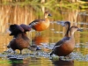 Wandering Whistling Ducks