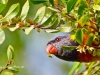 Lorikeet, Australian Native Parrot
