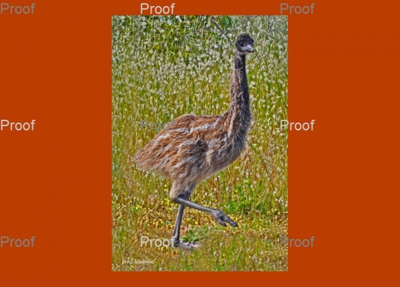Juvenile Emu