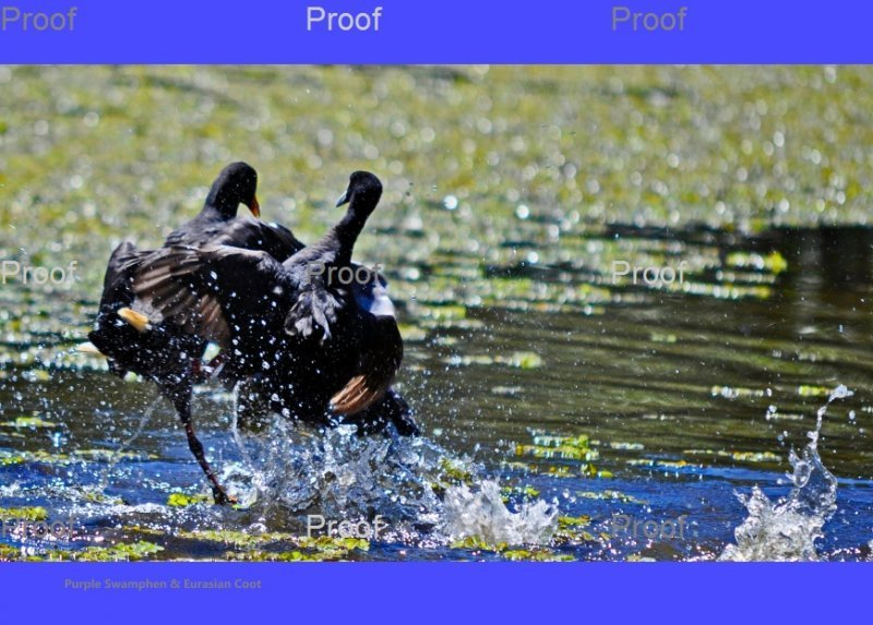 Purple Swamphen & Eurasian Coot fight