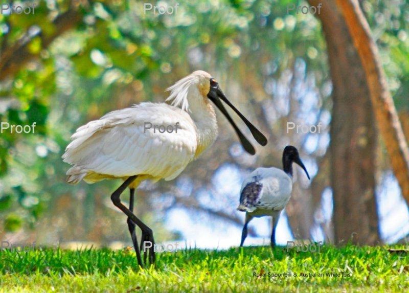 Royal Spoonbill & Australian White Ibis