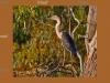 Juvenile White-faced Heron