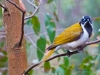 Blue-faced Honeyeater