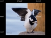Murray Magpie
