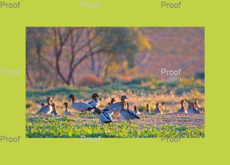 Australian Wood ducks. Waikerie Wetlands, Riverland South Australia