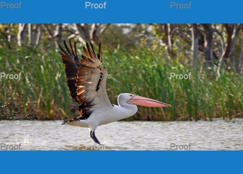Australian PelicanBlanchetown, Riverland wetlands, South Australia