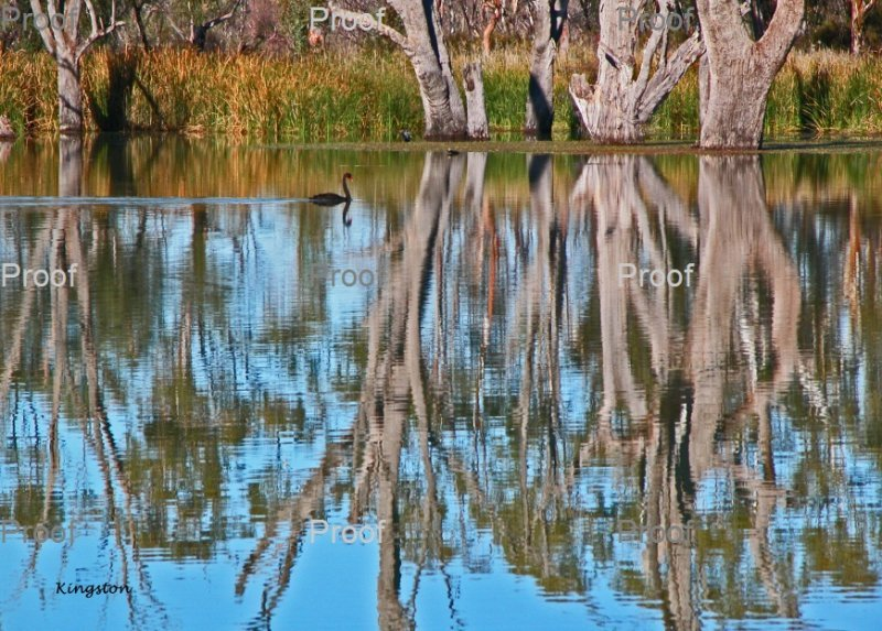 Kingston on Murray, swans, The Riverland, South Australia