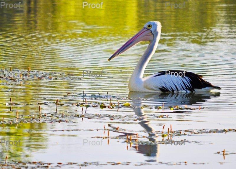 Australian Pelican. Waikerie Wetlands,Riverland  South Australia,