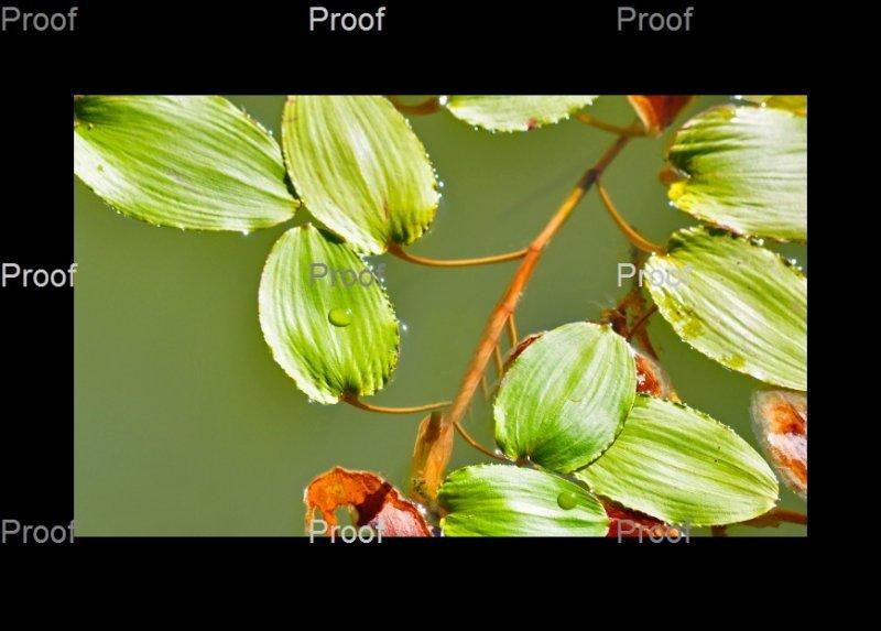 River weed: Waikerie Wetlands, Riverland South Australia