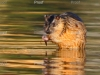 Water rat, Riverland wetlands, River Murray South Australia