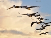 Australian Pelican: Formation flying, Waikerie wetlands, Riverland