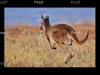 Kangaroo, Stockyard Plain