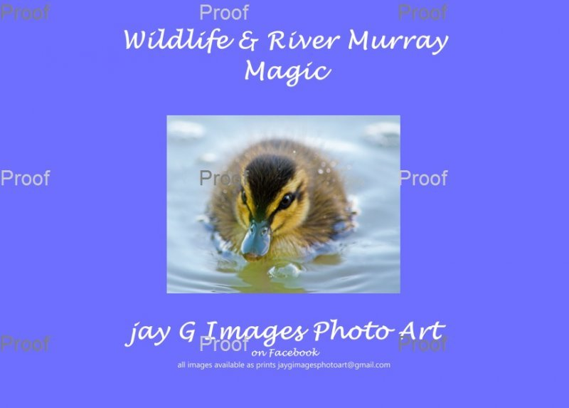 page one, baby Australian Pacific black duck cut out cover image