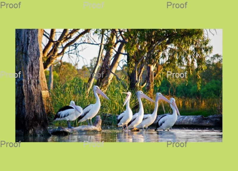 Australian Pelicans, River Murray Wetlands, Blanchetown South Australia