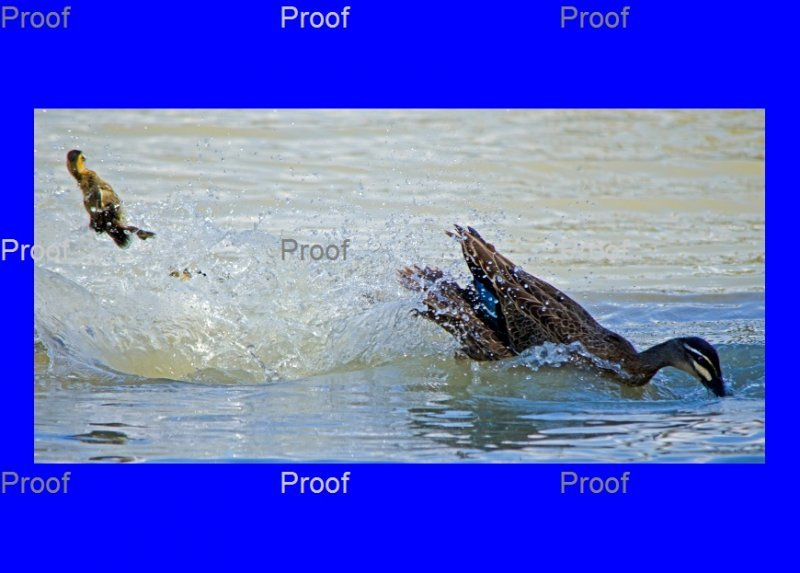 page 3 of 5 page wildlife sequence Mother duck goes on attack to protect her ducklings from a carp