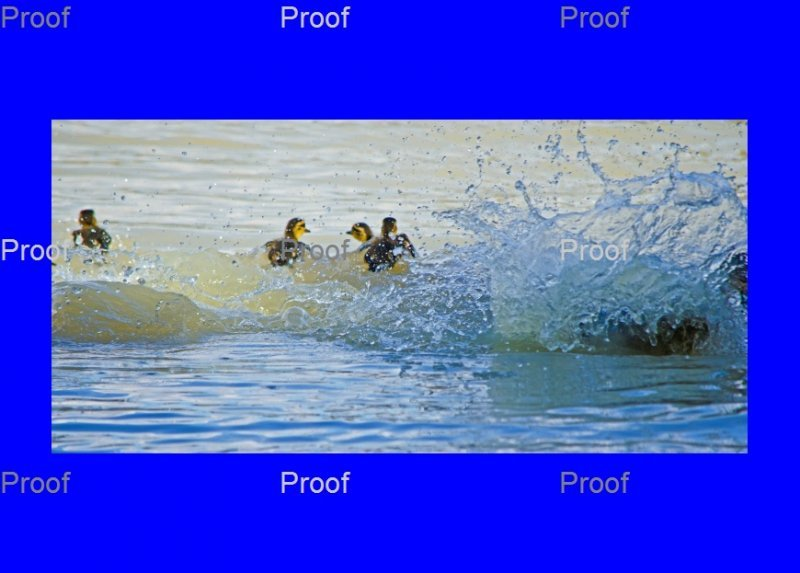 page 4 of 5 page wildlife sequence Mother duck goes on attack to protect her ducklings from a carp