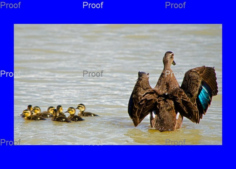 page 5 of 5 page wildlife sequence Mother duck goes on attack to protect her ducklings from a carp