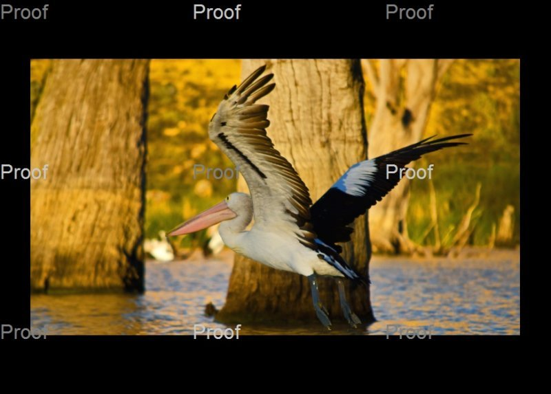 page 1 of 3 page wildlife sequence: Australian pelican in flight, Riverland wetlands, Murray River South Australia