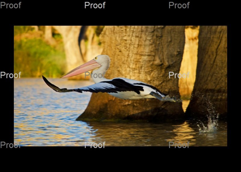 page 2 of 3 page wildlife sequence: Australian pelican in flight, Riverland wetlands, Murray River South Australia