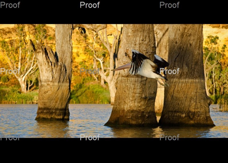 page 3 of 3 page wildlife sequence: Australian pelican in flight, Riverland wetlands, Murray River South Australia