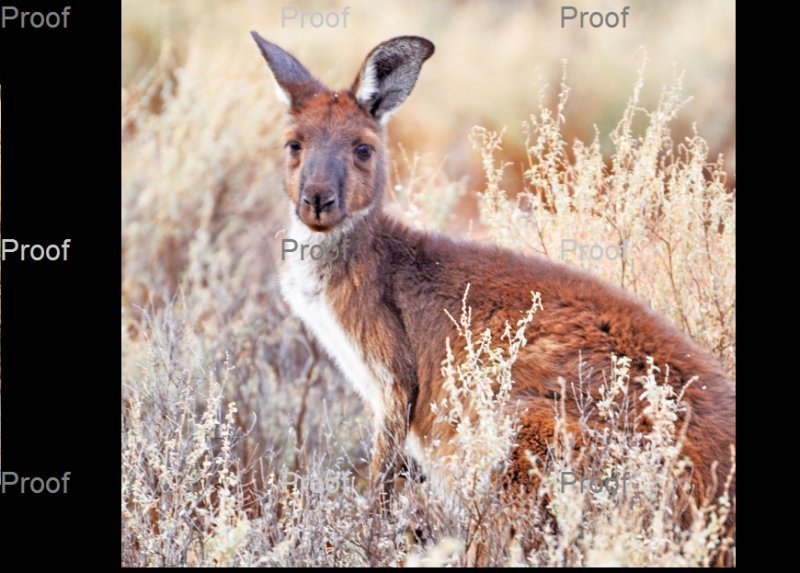 kangaroo, Stockyard Plains, Waikerie, Riverland South Australia