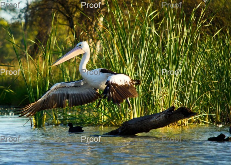 page 2 of 4 page wildlife sequence: Australian Pelican landing,  The Riverland Wetlands. South Australia