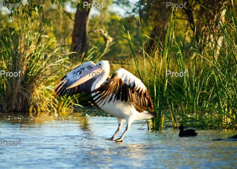 page 3 of 4 page wildlife sequence: Australian Pelican landing,  The Riverland Wetlands. South Australia