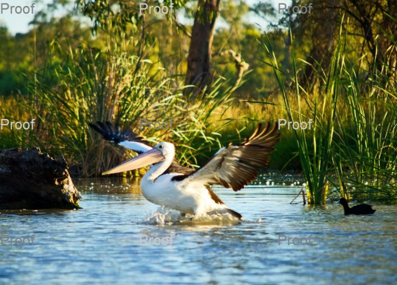page 4 of 4 page wildlife sequence: Australian Pelican landing,  The Riverland Wetlands. South Australia