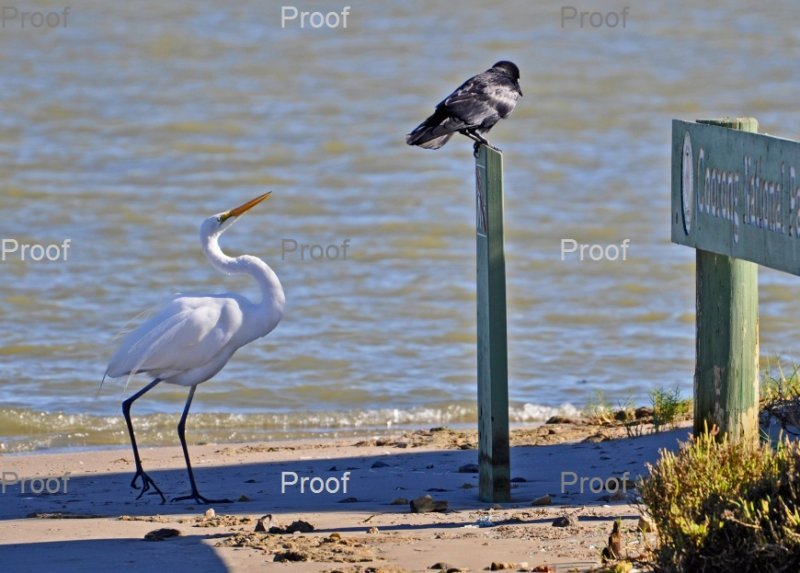 page 1 of 3 page wildlife sequence between an egret & crow