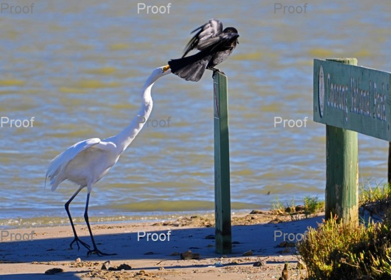 page 2 of 3 page wildlife sequence between an egret & crow