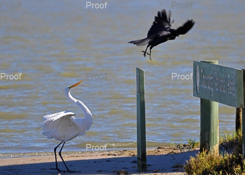 page 3 of 3 page wildlife sequence between an egret & crow
