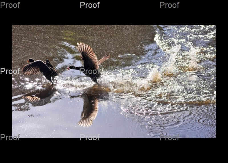 Purple Swamphen & Eurasion Coot fight