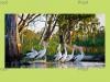 Australian Pelicans, River Murray Wetlands, Blanchetown South Australia