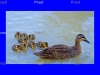 page 1 of 5 page wildlife sequence Mother duck goes on attack to protect her ducklings from a carp