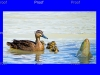 page 2 of 5 page wildlife sequence. Mother duck goes on attack to protect her ducklings from a carp
