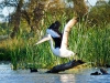 page 1 of 4 page wildlife sequence: Australian Pelican landing,  The Riverland Wetlands. South Australia