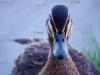 Pacific Black Duck, Riverland wetlands, River Murray South Australia