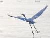 Egret in flight Riverland wetlands, South Australia