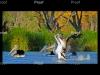 Australian Pelicans, Blanchetown wetlands, Riverland South Austalia