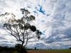 skyscape of Corellas in flight near Loxton. Riverland South Australia