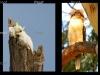 kookaburra & sulphur crested cockatoos,