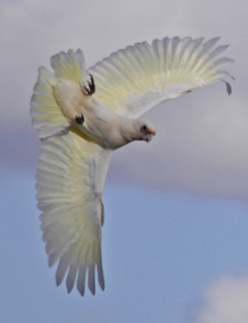 Corella at Waikerie