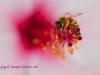 macro bee photo