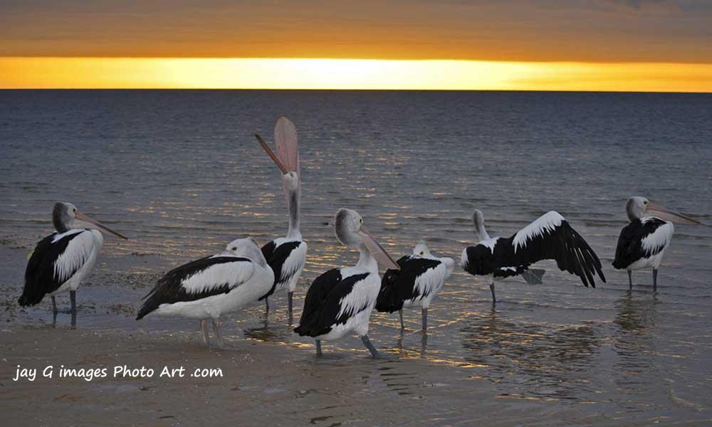 Pelicans at Dawn Port Vincent South Australia