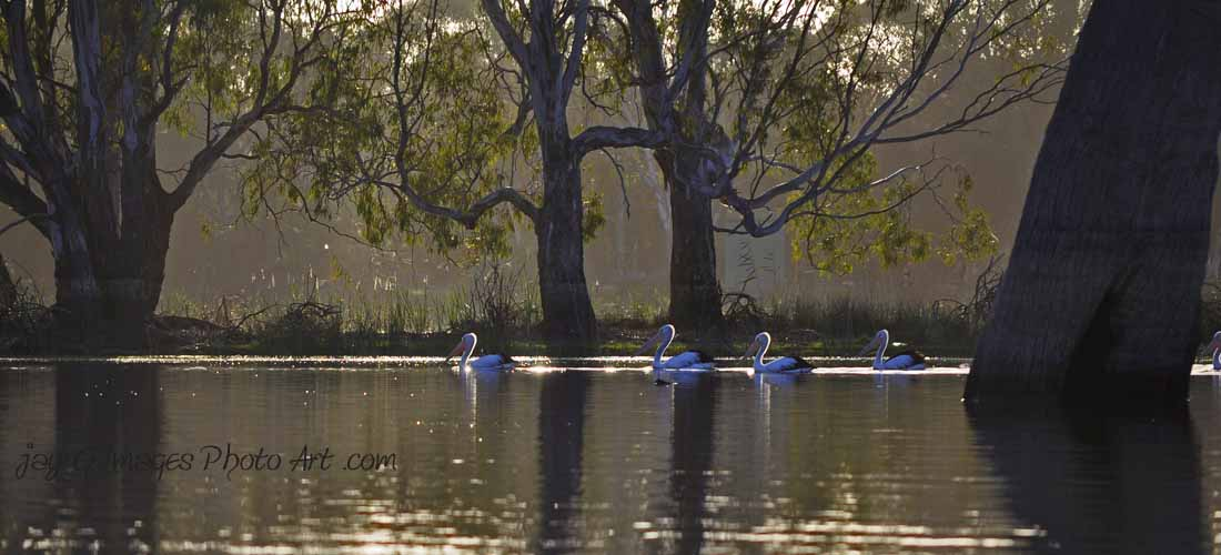 Pelicans photographed from a kayak Blanchetown South Australia