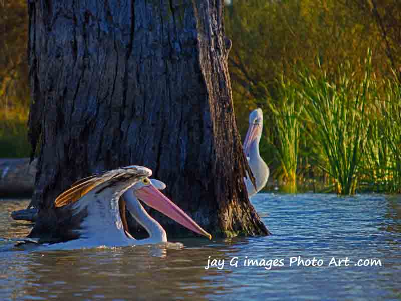Pelicans at Blanchetown