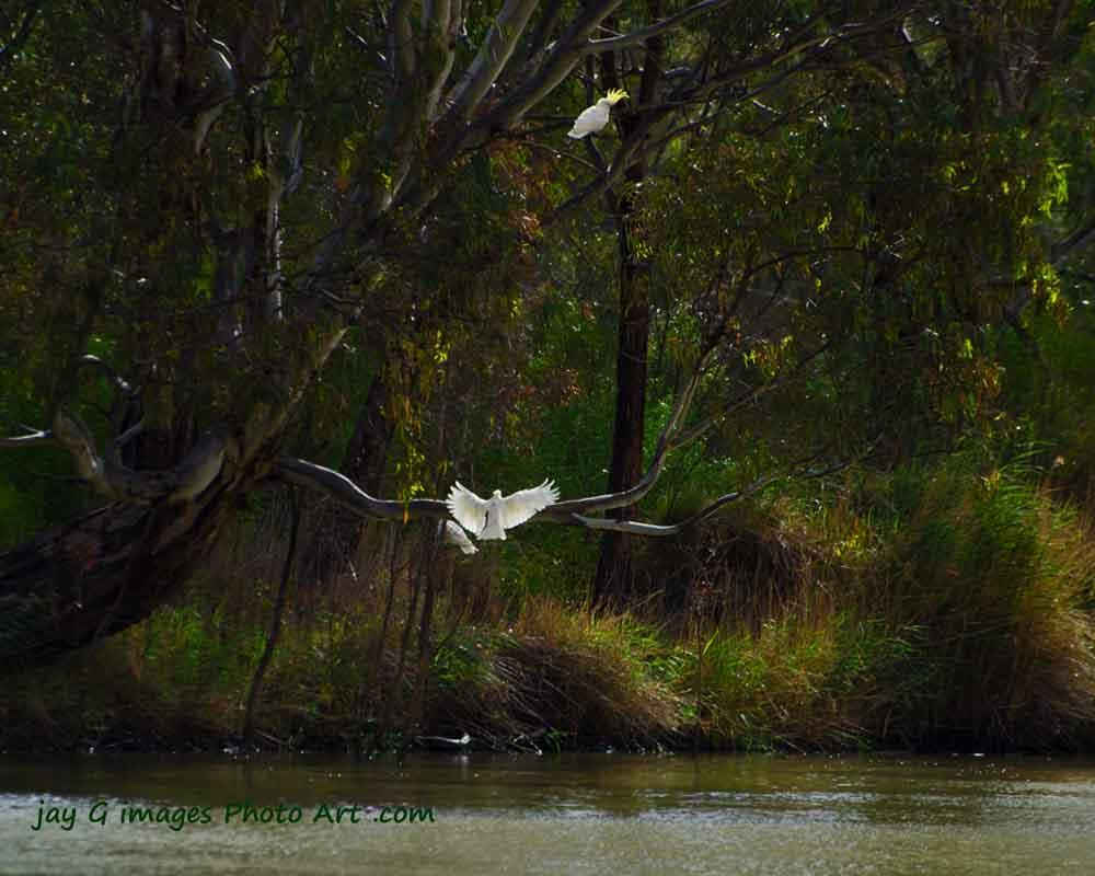 Murraylands Sulphur crested cockatoos